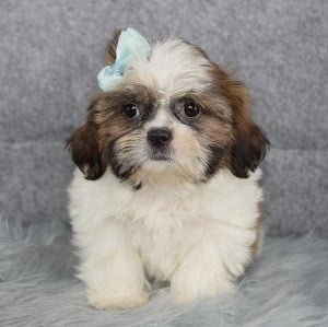 Shih Tzu Puppy Adoptions in VA
