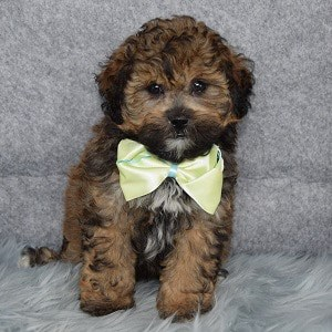Shihpoo puppies for sale in MA