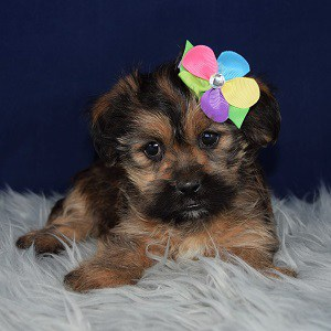 Shorkie puppies for sale in ME