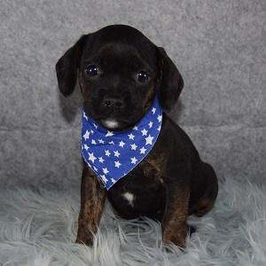 Caviston Puppies for Sale in MD