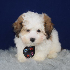 Shichon puppies for sale in MA