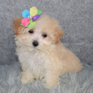 Maltipoo puppies for sale in CT