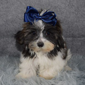 Shichon puppies for sale in WV