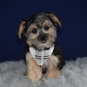 Morkie puppies for sale in OH