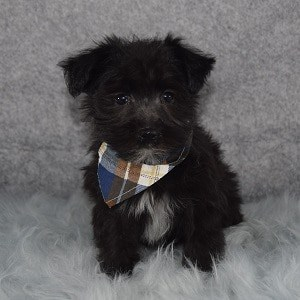 Morkie puppies for sale in PA