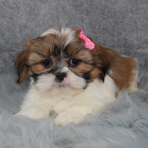 Shih Tzu puppies for sale in VA