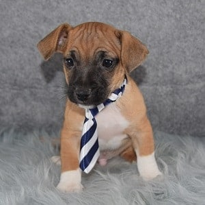 jug puppies for sale in NY