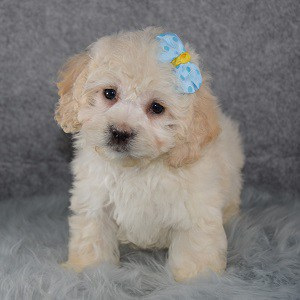 Maltipoo puppies for sale in VA