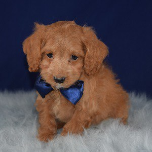 Cockapoo puppies for Sale in VA