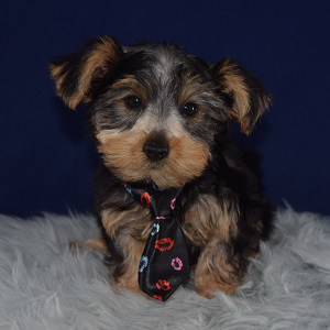 Yorkie puppies for sale in PA