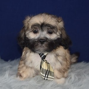 Hava Tzu puppies for sale in PA