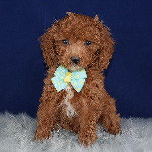 Poodle puppy adoptions in NJ