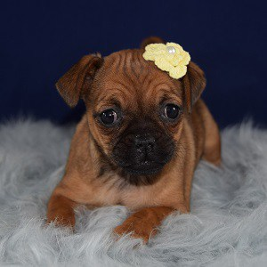 jug puppies for sale in MD