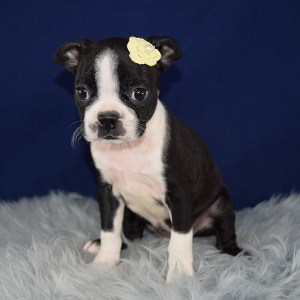 Boston terrier puppies for sale in PA