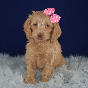 Cockapoo puppies for sale in NY