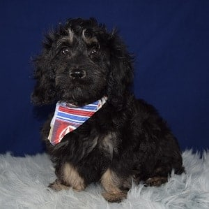 Cockapoo puppies for Sale in Washington DC