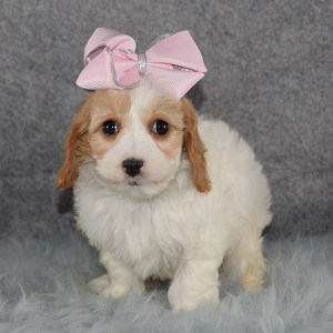 Cavachon puppies for Sale in NJ