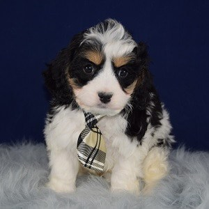 Cavachon puppies for sale in VA
