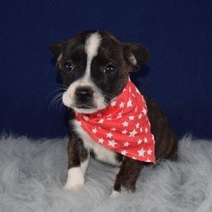 bojack puppies for sale in DE