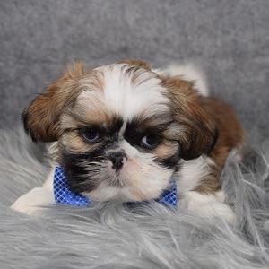 Shih Tzu Puppy Adoptions in NJ