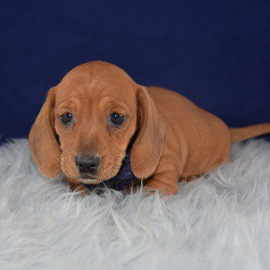 dachshund puppies for sale in WV