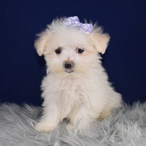 Maltest Puppies for Sale in NY