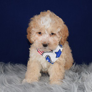 Cockapoo puppies for Sale in CT