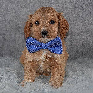 Cavapoo puppies for Sale in ME