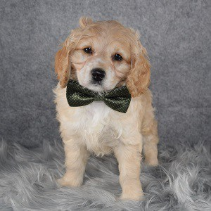 Cockapoo puppies for sale in NJ
