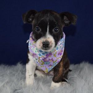 Bojack puppies for sale in RI