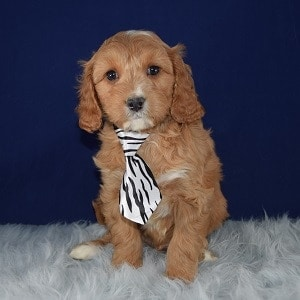 Cavapoo puppies for Sale in Washington DC