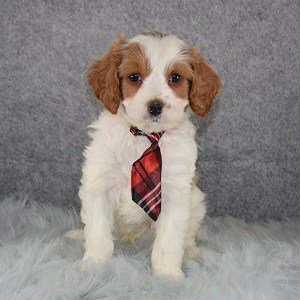 Cavapoo puppies for Sale in PA