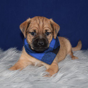 jug puppies for sale in MA