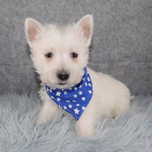 Westie Puppies for sale in DC