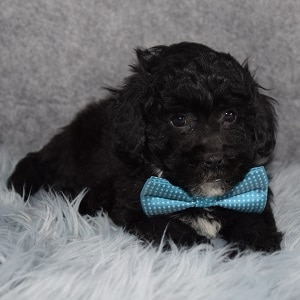 poodle mixed puppies for sale