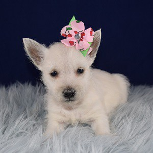 Westie Puppies for sale in MD