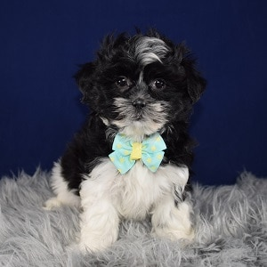 Mal-shi puppies for sale in VA