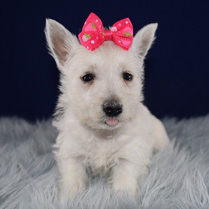 Westie Puppies for sale in RI