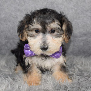 Morkie puppies for sale in NY