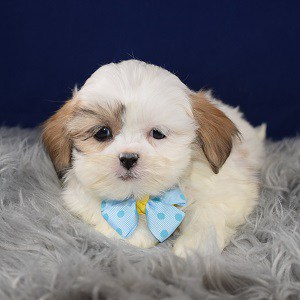 Shichon puppies for sale in VA