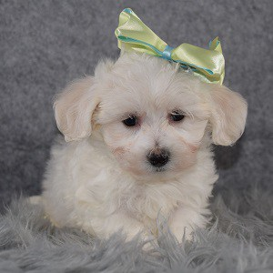 Maltichon puppies for sale in MD