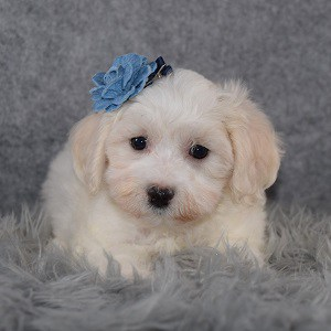 Maltichon puppies for sale in NJ