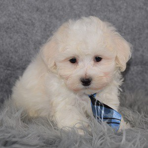 Maltichon puppies for sale in PA