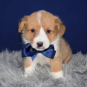 corgi puppies for sale in RI