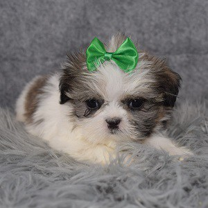 Shih Tzu puppies for sale in ME