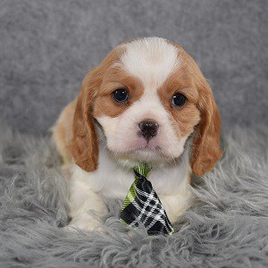 Cavalier puppies for sale in PA