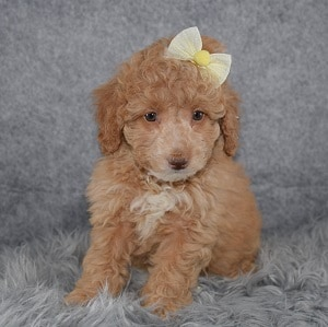 Poodle puppies for sale in CT