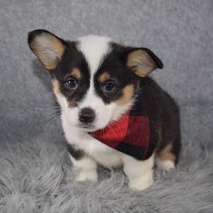 Corgi puppies for sale in NJ
