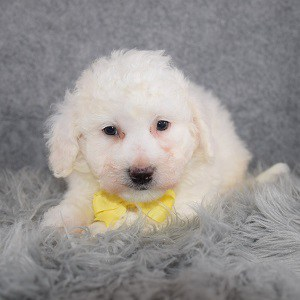Bichon puppies for sale in WV