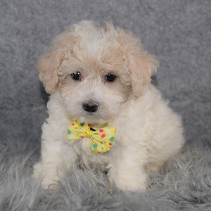 Maltipoo puppies for sale in NJ